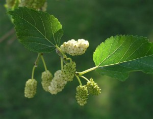 organic mulberry on tree