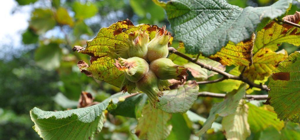 Hazelnuts on tree